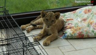 Lwiątko z nielegalnej hodowli