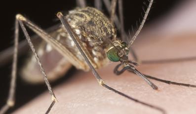 Komary przenoszą wirusa zapalenia mózgu