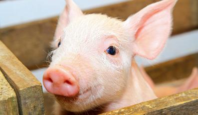 Producenci trzody, bydła i drobiu karmią zwierzęta nielegalnymi farmaceutykami