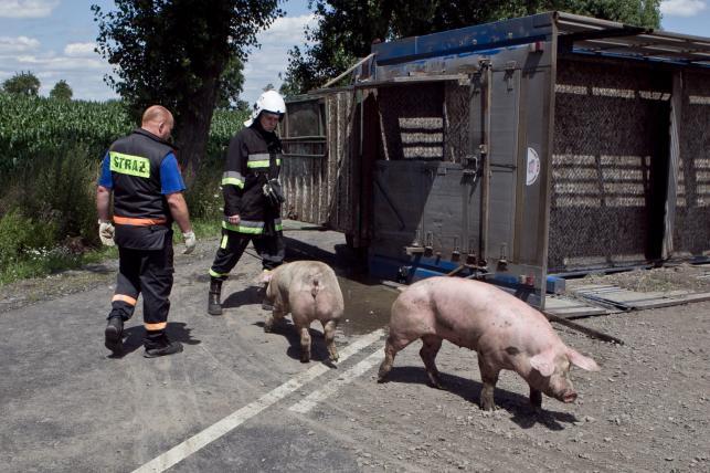Tir przewożący ok. 200 świń wpadł do rowu na drodze wojewódzkiej nr 364 (Legnica-Złotoryja)