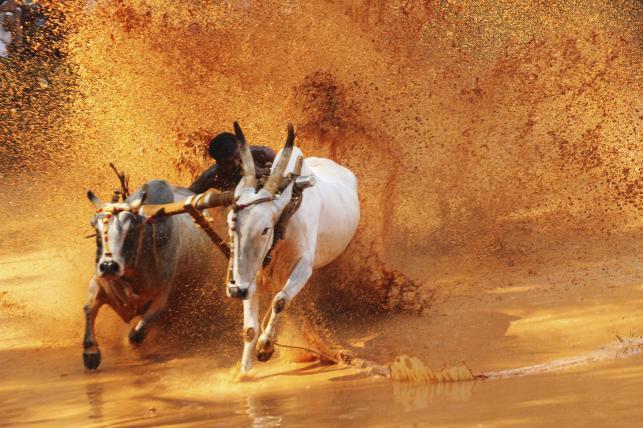 Wyścig wołami - przygotowania do zbliżającej siękolejnych wiejskich igrzysk. W lutym do małej wioski Kila Raipur położonej na pograniczu indyjsko-pakistańskim Pendżabu zjadą zawodnicy z obu krajów