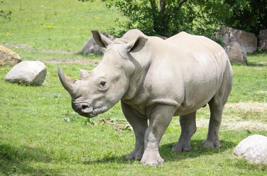 Biały nosorożec w zoo