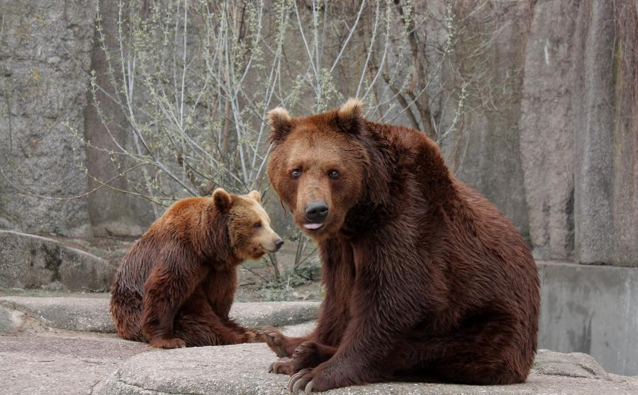 Niedźwiedzie w warszawskim ZOO