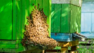 Pszczoły w ulu