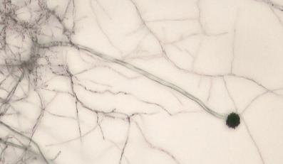 Kropidlaki wywołują zakażenie zwane aspergilozą, które pozostawia przy życiu zaledwie co drugą swoją ofiarę